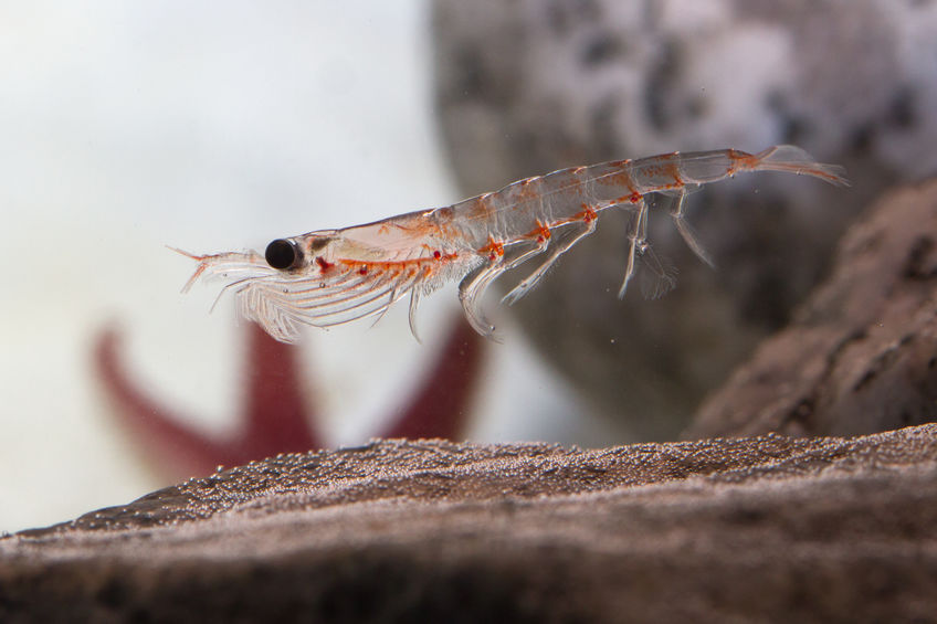 Antarctic krill, which floats in the water near the rocks