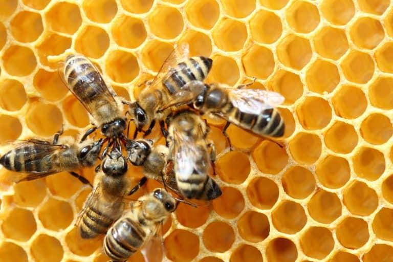 Varias abejas en un panal